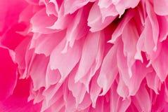 peony ροζ ανασκόπησης Στοκ Εικόνα