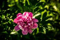 peony ροζ λουλουδιών στοκ εικόνα
