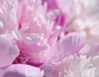 peony ροζ λουλουδιών ευγενές ροζ ανασκόπηση&sigmaf Στοκ φωτογραφία με δικαίωμα ελεύθερης χρήσης