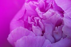 peony ροζ λουλουδιών τεμάχιο ρόδινου peony peony λευκό λουλουδιών ανασκόπησης Στοκ Φωτογραφία