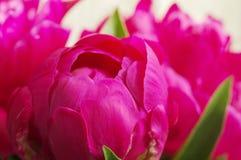 peony ροζ λουλουδιών Στοκ εικόνες με δικαίωμα ελεύθερης χρήσης
