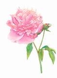 peony ροζ λουλουδιών Στοκ εικόνα με δικαίωμα ελεύθερης χρήσης