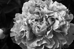 Peony χωρίς χρώμα Στοκ φωτογραφία με δικαίωμα ελεύθερης χρήσης