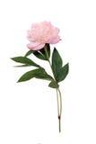 peony цветка Стоковые Фотографии RF