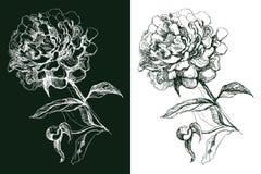 peony цветка Стоковая Фотография RF