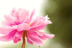 Peony Royalty Free Stock Photos