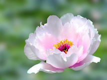 Peony. Garden in full bloom royalty free stock photo