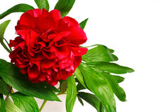 Peony. Red peony (paeoni, latin name Paeoniaceae) isolated on a white background Royalty Free Stock Photo