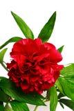 Peony. Red peony (paeoni, latin name Paeoniaceae) isolated on a white background Stock Image