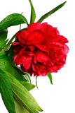 Peony. Red peony (paeoni, latin name Paeoniaceae) isolated on a white background Royalty Free Stock Images