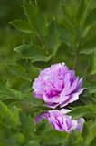 Peony. This is a flower pictures, pictures reflect the beauty of the peony flower scene Stock Image