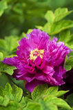 Peony. This is a flower pictures, pictures reflect the beauty of the peony flower scene Stock Photography