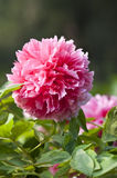 Peony. This is a flower pictures, pictures reflect the beauty of the peony flower scene Stock Photo