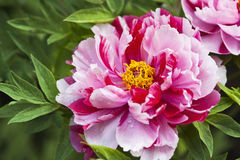 Peony. This is a flower pictures, pictures reflect the beauty of the peony flower scene Royalty Free Stock Image