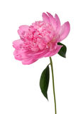Peony. Flower (Paeonia suffruticosa) isolated on white Stock Photography