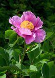 Peony. Purple flower of peony on green background Stock Images