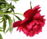 Free Peony Royalty Free Stock Images - 19710799