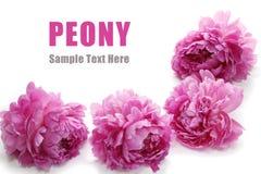Peony Royalty Free Stock Photography