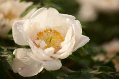 Peony. A white peony flower is open Royalty Free Stock Photo