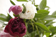 Peony Stock Images