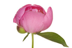 Peony (3. growth period) Stock Image