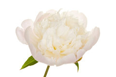 Peony (4. growth period) Stock Images
