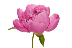Peony (4. growth period) Royalty Free Stock Image