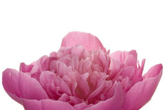 Peony (4. growth period) Royalty Free Stock Photo