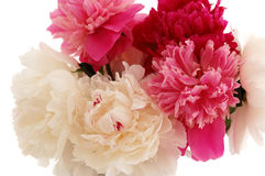 Peony. Bunch of colorful peonies isolated on white background closeup Royalty Free Stock Image