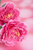 Peony. Two stalks of Pink peony lying on pink background Stock Images