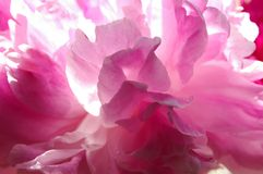 Peony. Abstract pink peony flower background Stock Photos