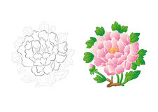 Peony. In the white background of peonies Stock Photo