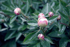 Peony afte the rain Stock Photography