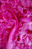 Peony background Stock Photo