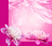 Peony on background Royalty Free Stock Photography