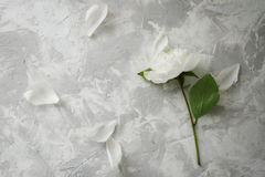 Peony on a background of marble, photographed in the daytime. Royalty Free Stock Photos