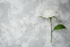 Peony on a background of marble, photographed in the daytime. Royalty Free Stock Photography