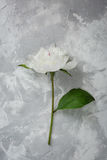 Peony on a background of marble, photographed in the daytime. White petals Royalty Free Stock Image