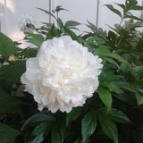 Peony. Beautiful flower in nature outdoors Royalty Free Stock Image