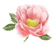 Peony. Beautiful and fresh peony computer graphics stock illustration