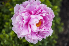 Peony in the beautiful Roman Garden in Chester the county city of Cheshire in England. Even in the busy city of Chester there are tiny and beautiful gardens to Royalty Free Stock Photography