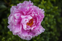 Peony in the beautiful Roman Garden in Chester the county city of Cheshire in England. Even in the busy city of Chester there are tiny and beautiful gardens to Stock Images