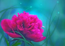 Peony on a berry background. Royalty Free Stock Photos