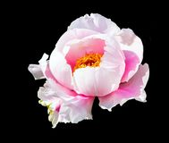 Peony on black background. Stock Photos