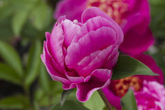Peony in bloom Stock Images