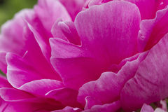 Peony in bloom Stock Photo