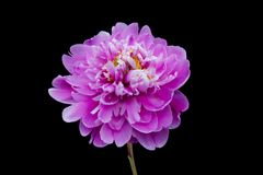 Peony In Bloom Royalty Free Stock Images