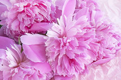 Peony blooming Royalty Free Stock Images