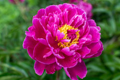 Peony. A blooming peony in the garden Royalty Free Stock Photography