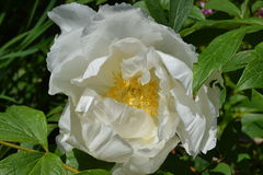 Peony. The peony is blooming with startling white colors in my summer garden Royalty Free Stock Images